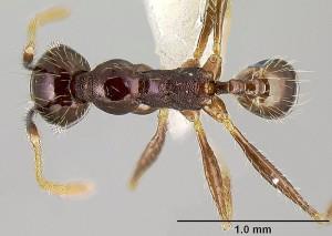 Мравка работник от рода Pheidole. Снимка: John T. Longino, www.antweb.org
