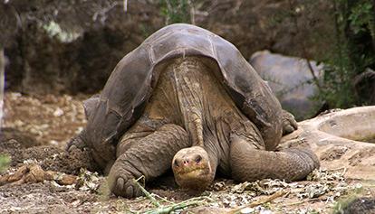 Смяташе се, че Самотният Джордж е последния представител на своя вид. Снимка: putneymark