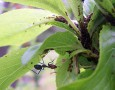 """<p>Някои мравки събират дреболии от земята, докато други вече са се научили на фермерство. При това не само един вид – има мравки, които отглеждат гъби и мравки-животновъди. Напълно е … <a href=""""http://www.nauteka.bg/sciences/i-want-to-know/iskam-da-znam-kakvo-sa-mravkite-zhivotnovudi/"""" class=""""read_more"""">още</a></p>"""