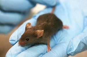 Заменянето на мутиралия ген в генома на мишка й възвърнало усещането за мирис
