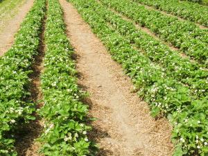 Органични ягодови насаждения
