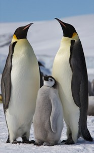 Императорските пингвини са най-едрите представители на семейство пингвини днес. Снимка: Animal Portraits