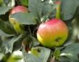 """<p>Ябълката в момента е един от може би най-широко разпространените плодове. Сладките ябълки които ядем са резултат от хиляди години подбор и """"опитомяване"""" от страна на хората. Всъщност този плод … <a href=""""http://www.nauteka.bg/sciences/i-want-to-know/iskam-da-znam-otkude-idvat-yabulkite/"""" class=""""read_more"""">още</a></p>"""
