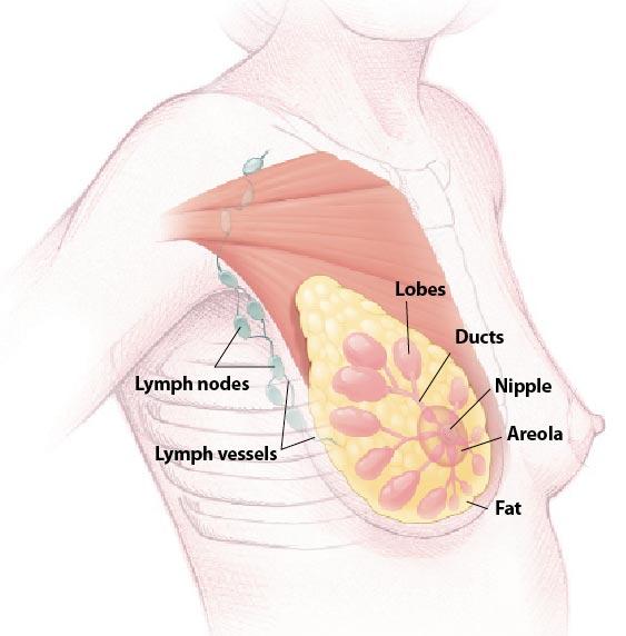 При рак на гърдата зоните, които могат да бъдат атакувани от заболяването са: лобулите (lobes), млечните дуктуси (ducts) и лимфните възли (lymph nodes). Новото изследване дава надежда за безопасно лечение без странични ефекти. Изображение: NIH