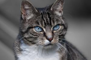 Новото изследване показва, че досегашните оценки за нанасяната от котките вреда върху дивата фауна в САЩ са силно занижени