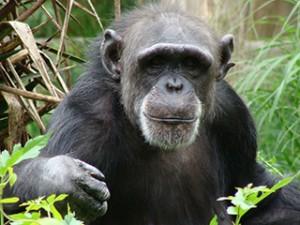 """В доклада на IOM се определят много строги мерки за контрол:  ако натоварването на шимпанзетата е високо, евентуалната полза за човечеството от изследването трябва също да бъде """"много висока"""", за да бъде допуснат експеримента. Снимка: pheonix1"""