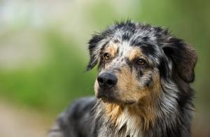 Австралийска овчарка. Учените смятат че генетични промени свързани усвояването на скорбялата са спомогнали за опитомяването на кучето.