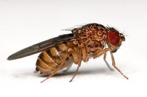 Изследването с мушиците дрозофила показва, че посредством регулиране на телесната температура е възможно да се противодейства на часовата разлика. Снимка: Bbski