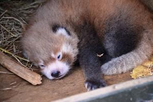 Бебето червена панда. Снимка: Auckland Zoo
