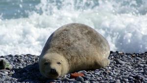 Учените смятат, че ихтиостегите - преходно звено между рибите и сухоземните, съществувало преди 374-359 милиона години - са се придвижвали подобно на съвременните тюлени.