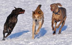 Съществуват над 400 чисти породи кучета, но четириногите успешно отличат представителите на своя вид от другите видове. Снимка: Vince Pahkala