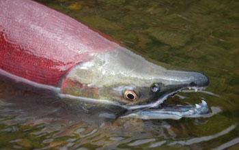 """Според изследването сьомгата е способна да разпознае магнитния """"отпечатък"""" на реката, от която е мигрирала. Снимка: Dr. Tom Quinn, University of Washington"""