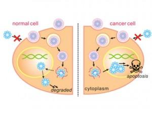 Графиката показва как действа нано-капсулата - в нормална клетка тя се разгражда (вляво), а в раковата клетка (вдясно) причинява апоптоза - самоунищожаване на клетката. Изображение: UCLA