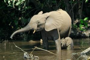 Африкански горски слон. Снимка: Thomas Breuer