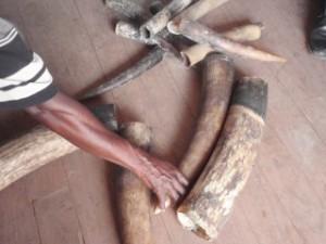 Иззети бивни, някои от които от слонове-бебета от Покола, Република Габон. Снимка: Naftali Honig, PALF