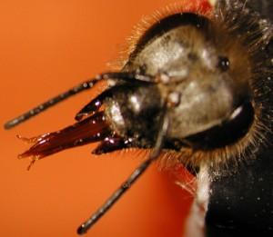 В експериментите, проведени от двете групи учени, пчели били изложени на нива на препаратите, които учените сметнали, че отговарят на тези, с които насекомите реално се сблъскват в околната среда. Снимка: Geraldine Wright