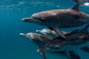 """Според изследователите един делфин може да """"извика"""" друг конкретен делфин, имитирайки уникалните му звуци. Снимка: Willy Volk"""