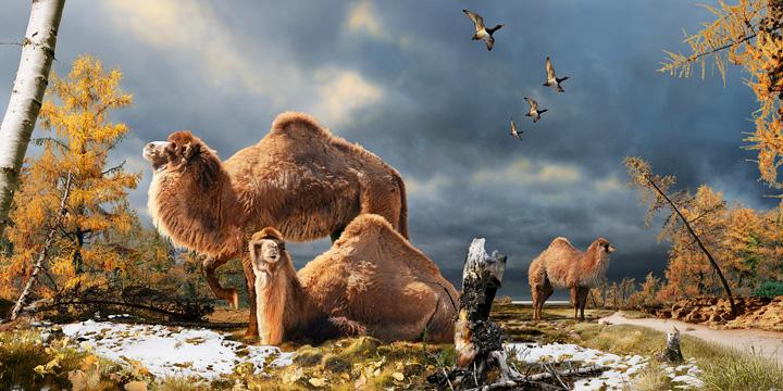 Художествена концепция за гигантските камили обитавали Арктика преди 3,5 милиона години и техния хабитат. Изображение: Julius Csotonyi © Julius Csotonyi