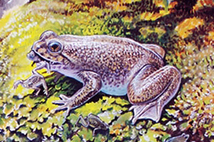 Художествена концепция за жабата от вида Rheobatrachus silus. Изображение: Peter Schouten/UNSW