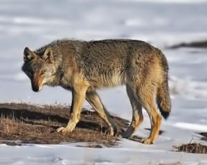 Вълк нащрек.  Учените смятат, че откритият в Алтай фосил на 33 000 години от същество, кръстено Алтайско куче, е по-близък до днешните кучета и намерените в Америка фосили от праисторически кучета, отколкото до вълците. Снимка: Walterince