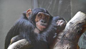 Резултатите от изследването показват, че шимпанзетата има метакогнитивни способности, сходни с тези на човека. Снимка: Чад Литълджон