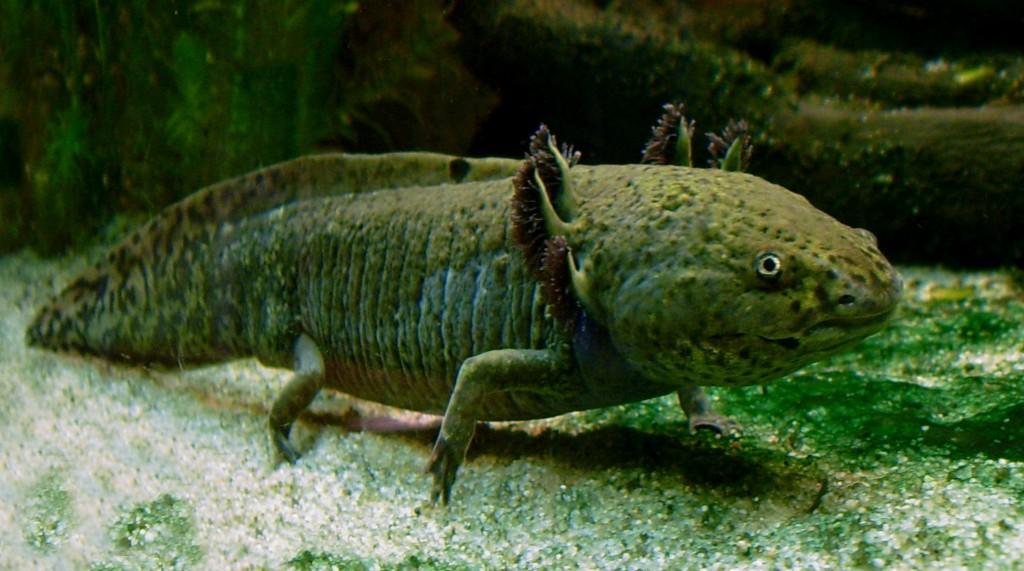 Ашолотъл, още известен като мексиканска ходеща риба. Снимка: LoKiLeCh