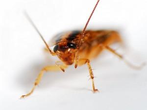 Според д-р Шал се открива нова глава в еволюционната надпревара във въоръжаването между хората и хлебарките. Снимка: David Chao