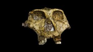 Череп на Парантропус робустус на 1,8 милиона години, открит в Южна Африка. Снимка: José Braga, Didier Descouens