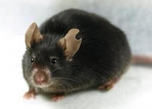 Женската мишка-клонинг получена с процедура, разчитаща само на една капка кръв от донора. Изображение: Supplemental Figure S1 from Kamimura et al., Biol Reprod 2013