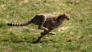 Гепардите бягат два пъти по-бързо от Юсеин Болт, а енергията произвеждана от мускулите им е четири пъти повече от на спринтьора. Снимка: Malene Thyssen (CC BY-SA 3.0)
