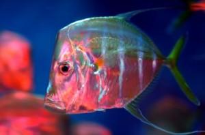 Изследователите открили, че рибата Selene vomer манипулира поляризацията на светлината, за да се скрие в открити води. Снимка: Jeff Kubina