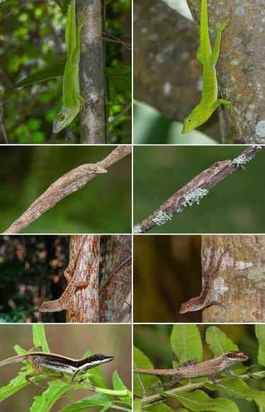 Изображението показва двоики гущери от различни острови, които са развили сходни морфологични особености. Автор: Luke Mahler, UC Davis