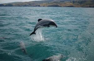 Делфин Мауи. Снимка: WWF/Will Rayment