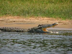 ИСО покриват цялото тяло на нилският крокодил. Снимка: Tim Muttoo (CC BY-SA 2.0)