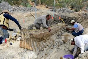 Намерената от палеонтолозите опашка на динозавър. Снимка: INAH/UNAM