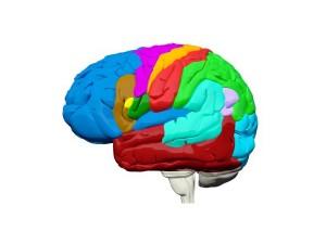 Приемането на кокаин може да промени структурата на мозъка в рамките на часове, което вероятно е и първата стъпка към пристрастяването към него, сочат резултатите от ново изследване.