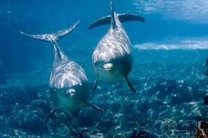 Делфини афала. Снимка: Jeff Kraus (CC BY-NC 2.0)