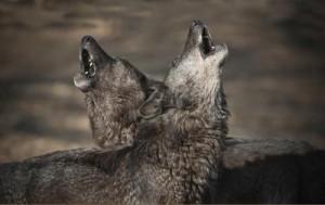 Когато даден вълк бил извеждан на разходка останалите от глутницата винаги виели. Снимка: Mazzini et al.