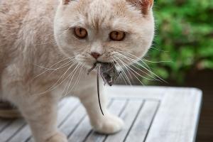 Токсоплазмозата кара мишките да харесват миризмата на своя естествен враг котката. Снимка: Фред Фокелман