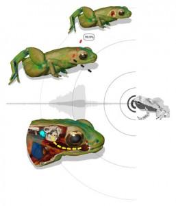 Горе вляво: 99,9% от звука се отразява от кожата на жабата. Долу вляво: устата действа като усилвател и звука се провежда до вътрешното ухо. Изображение: R. Boistel/CNRS
