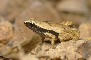 Жабата Sooglossus gardineri е една от най-малките в света, с дължина около 1 см. Снимка: R. Boistel/CNRS