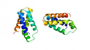 Протеинът mTOR, чието производство зависи от гена със същото име. Изображение: Emw (CC BY-SA 3.0)