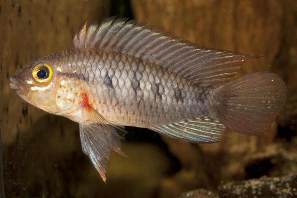 Рибката Apistogramma cinilabra е открита в Перу. Снимка: Uwe Rîmer