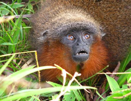 Новият вид Callicebus caquetensis е сред 20 вида маймуни тити, живеещи в Амазонкската джунгла. Малките имат очарователната черта да мъркат, когато са доволни. Снимка: Thomas Defler