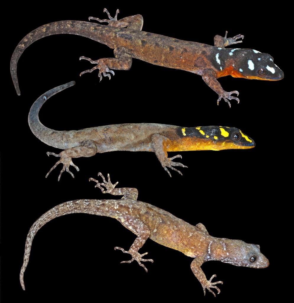 """Красивият гущер Gonatodes timidus е открит през 2011 г. в частта от Амазония, която се простира в Гвиана. Въпреки """"войнствените"""" си краски името му произлиза от латинската дума """"timidus"""", което означава """"срамежлив"""" и """"плашлив"""". Причината за това е, че гущерът много бързо се скрива при приближаване на хора и е много труден за хващане. Снимка: Philippe Kok"""