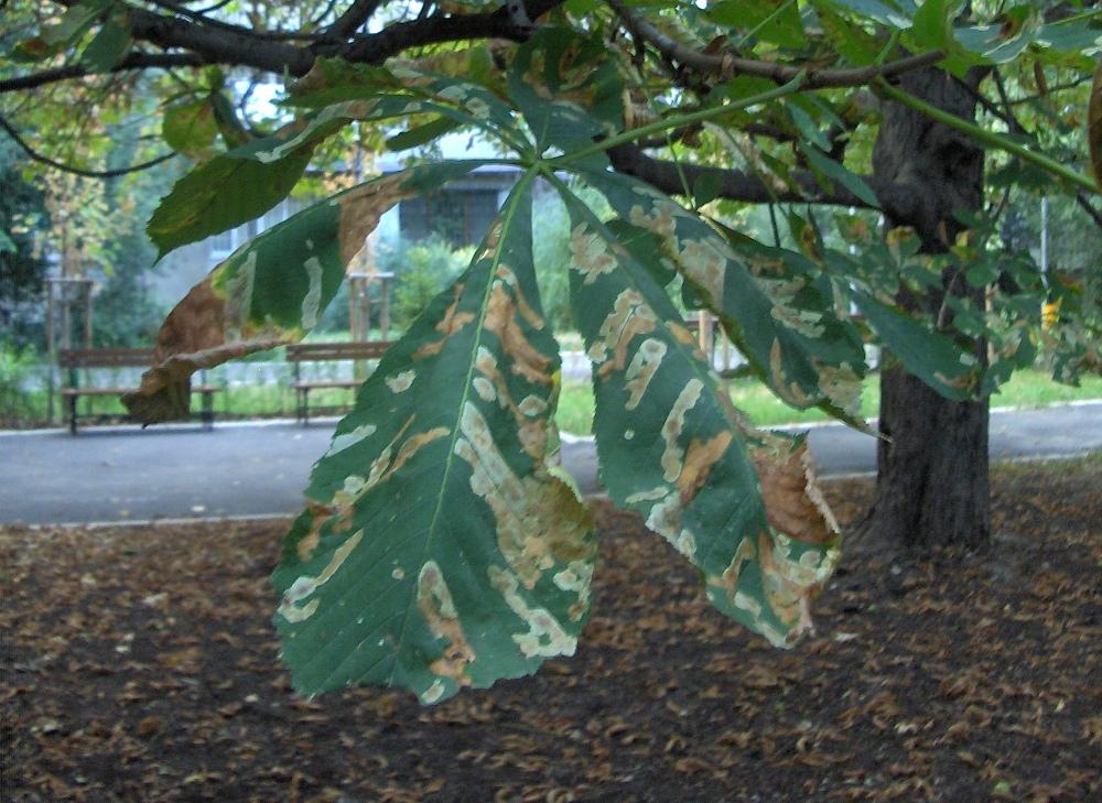 Боледуващи листа през лятото. Снимка: Веселин Цветанов