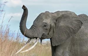Слоновете често правят жестове с хоботите си. Дали за това ни разбират, когато им сочим неща? Източник: Muhammad Mahdi Karim (GNU Free Documentation License, Version 1.2)