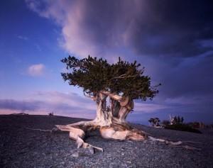 Мъхестошишареният бор се смята за най-дълголетния организъм на планетата - живее над 5000 години. Възрастта на най-старото такова дърво се оценява на 5063 години. Снимка: Zest-pk/flickr (CC BY 2.0)