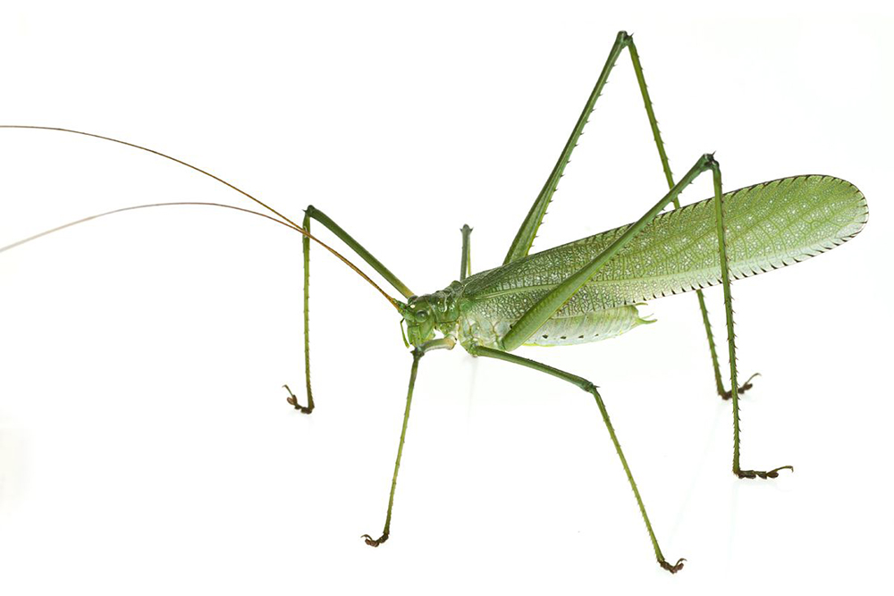 Този новооткрит вид - Pseudophyllinae: Teleutini - е толкова странен, че вероятно представлява цял нов род. Дългите му крака са покрити с остри шипове, които държат враговете му настрана. Снимка: © Piotr Naskrecki