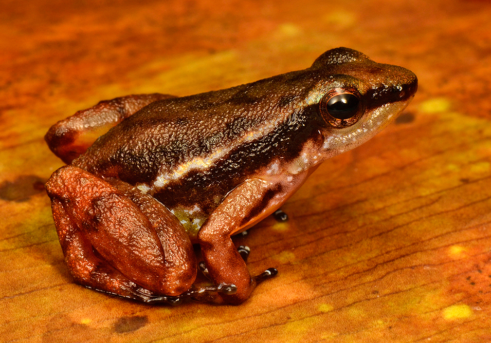 Предполагаем нов вид отровна жаба от сем. Dendrobatidae. Много от видовете в това семейство са отровни и някои племена използват отровата за лов. Тя обаче може да бъде и много полезна за медицински цели. Снимка: © Trond Larsen